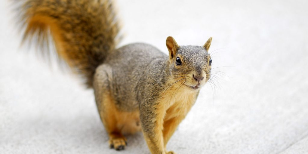 Madison Squirrel Removal